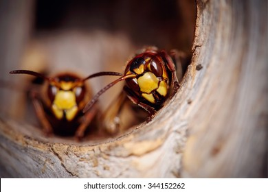 Portrait of two big wasps - hornets about an entrance to a nest.