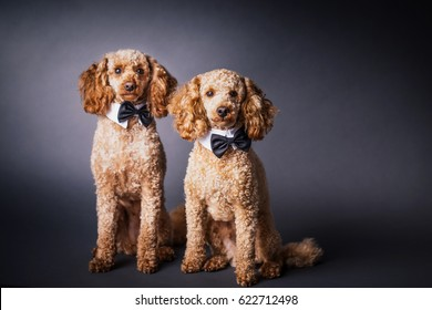 portrait of two brothers poodle