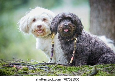 Portrait of two cute havanese dogs with dog leash sitting in forest and looking to camera