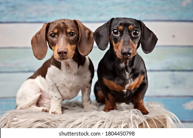 portrait of two dachshunds on blue wood background