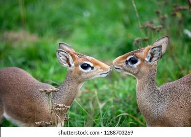 Portrait of two dik-dik of the smallest antelope