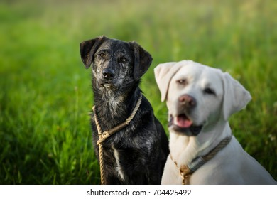 portrait of two dogs on a green meadow