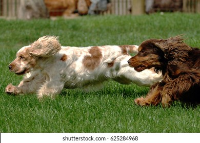 Portrait of Two English Cocker spaniel dogs in outdoors.
