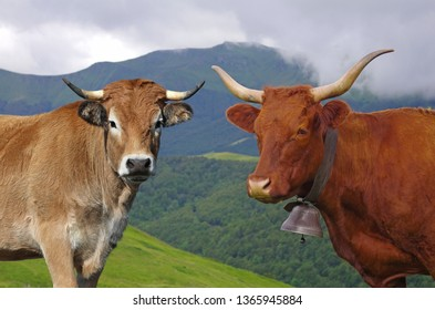 Portrait of two famous french cow. Salers and Aubrac breed with mountains in background. Cantal, Auvergne, France, Europe