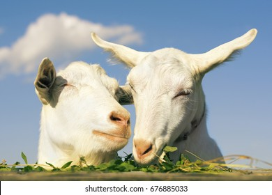 Portrait two of a funny goats looking to a camera over blue sky background. White goat eats green grass
