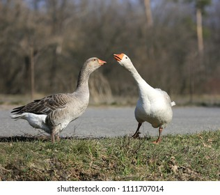 portrait of two funny gooses on pasture