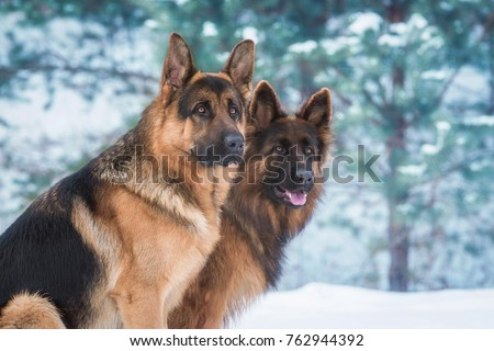 Portrait of two german shepherd dogs in winter