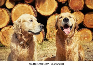 Portrait of the two golden retriever dogs