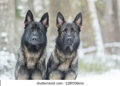 Portrait  of two gray working line German shepherds dogs