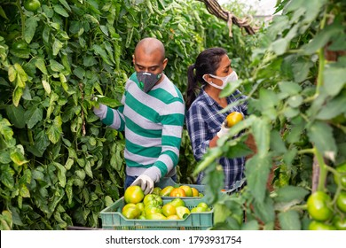 Portrait of two horticulturists wearing medical face masks harvesting green tomatoes in farm hothouse. Concept of work in context of coronavirus pandemic