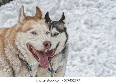 Portrait of two husky dogs with snow in background