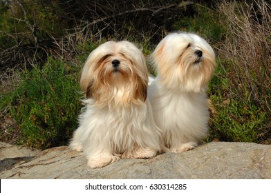 Portrait of two lhasa apso dogs in outdoors.