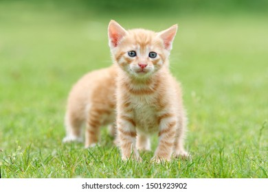 Portrait of two lovely ginger tabby cats standing on green grass field, one is hiding behind another, so it looks like a cat has eight legs, funny pet concept.