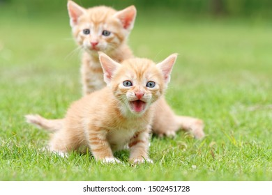 Portrait of two lovely ginger tabby cats standing on green grass field, the front one is looking at camera and shouting, another is stretching its neck and looking alertly, funny pet concept.