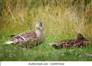 Portrait of two mallard ducks in grass