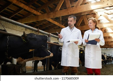 Portrait of two modern farm workers wearing lab coats walking by row of cows in shed inspecting livestock, copy space