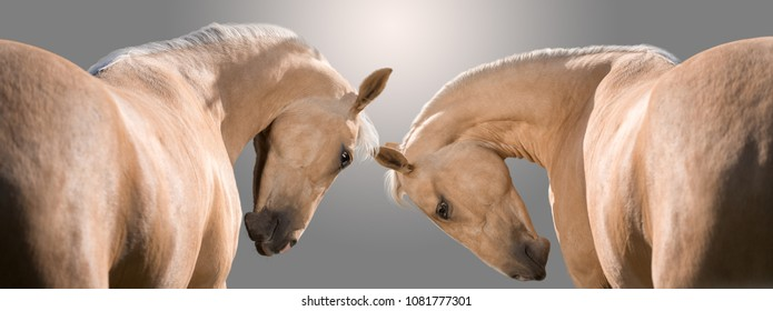 Portrait of two palomino horses isolated on gray background