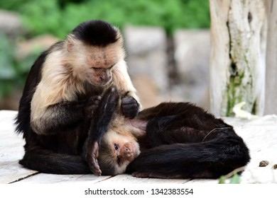 Portrait of two Panamanian white faced capuchin (cebus imitator) monkeys in a zoo
