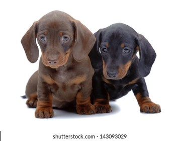 Portrait of two puppies of Dachshund on white