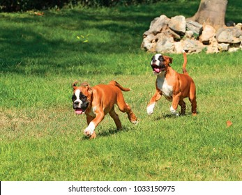 Portrait of two puppy dogs breed German boxer playing in outdoors.