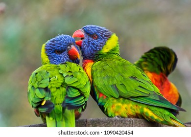The portrait of two rainbow lorikeets