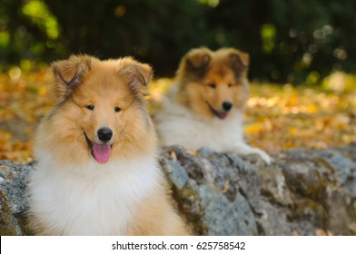 Portrait of two rough collie dogs in outdoors.