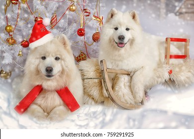 Portrait of two Samoyed dogs lying on a sled under Christmas tree in Christmas interiors