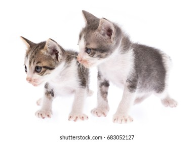 Portrait of Two Small kitten isolated on white background.
