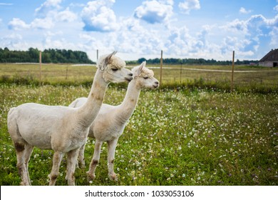 Portrait of two white cute alpacas standing next to each other in the summer meadow.