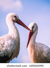 Portrait of two white storks cuddling, Storks are large, long-legged, long-necked wading birds with long, stout bills. They belong to the family called Ciconiidae, and make up the order Ciconiiformes.