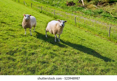 Portrait of two white and woolly sheep standing in backlit on the slope of a Dutch like and curiously looking to the photographer on a sunny day in the spring season.