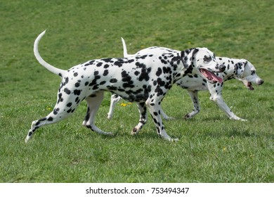Portrait of Two young beautiful Dalmatian dogs.Selective focus