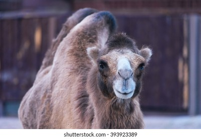Portrait of a two-humped camel smiling