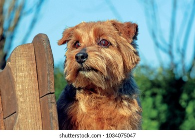 Portrait of Typical Norfolk Terrier dog in outdoos