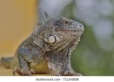 Portrait of a typical reptile  - Inguana - in the Caribbean of Curacao
