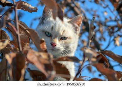 Portrait of unsatisfied or suspicious white cat hiding in dry brown leaves on a tree. Cute cat stuck in a tree waiting for assistance. Serious and rough-looking cat sits on a tree and hides in foliage