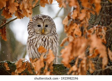 Portrait of ural owl, Strix uralensis, perched on old oak tree covered by wet orange leaves. Beautiful grey owl in nature habitat. Bird of prey in winter nature. Wildlife scene from Europe.