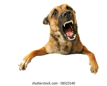 portrait of a very angry purebred belgian shepherd malinois