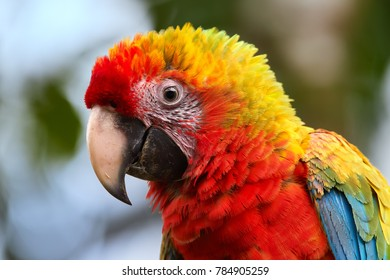 Portrait of very colorful hybrid parrot of Scarlet Macaw, Ara macao and Great green macaw, Ara ambiguus. Wildlife. Costa Rica.