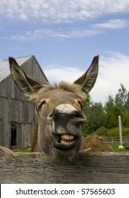 A portrait of a very expressive donkey making a silly face in mid bray.