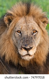 A portrait of a very old male lion