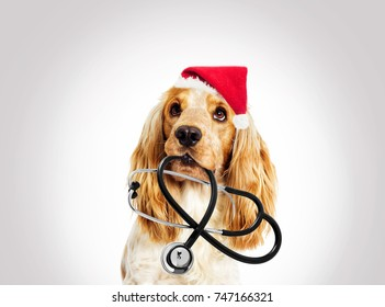 portrait vet dog spaniel in the New Year and Christmas hat on a gray background