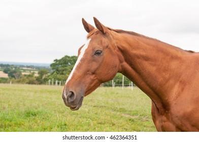 Portrait of a veteran thoroughbred