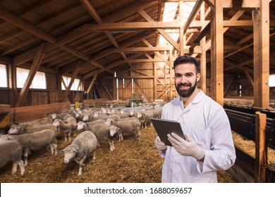 Portrait of veterinarian dressed in white coat with rubber gloves standing at sheep domestic farm. Health control of domestic animals.