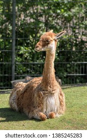 Portrait of a vicuna, South American camelids