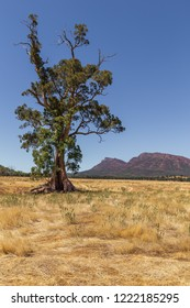 Portrait view of the Cazneaux Tree under a clear blue sky with Wilpena Pound in the background, Finders Ranges, South Australia