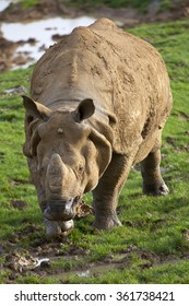 Portrait view of an Indian Rhinoceros
