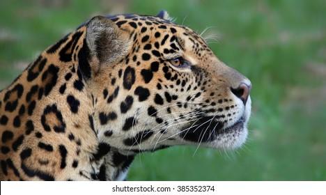 Portrait view of a male Jaguar (Panthera onca)