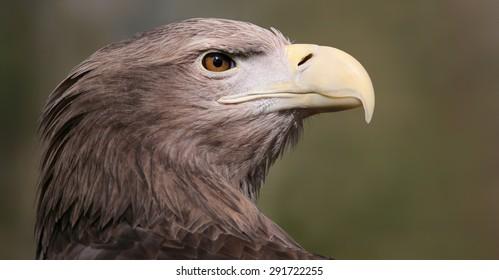 Portrait view of a White-tailed Eagle (Haliaeetus albicilla)