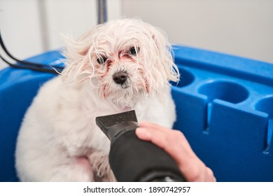 Portrait view of the young careful professional groomer handle with pet maltipoo in salon. Domestic animal getting hair cut in specialized pet spa grooming salon. Comb and cut overgrown hair